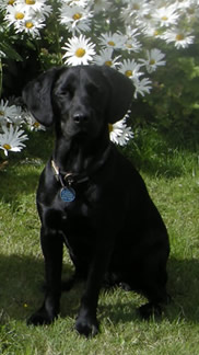 Lola, a black labrador/springer sitting in front of daisies on a summer lawn